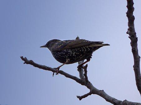 Starling, Branch, Lookout, Bird, Winter