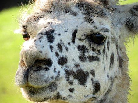 Lama, Head, Animal, Face, Mammal, Lama Head, Portrait