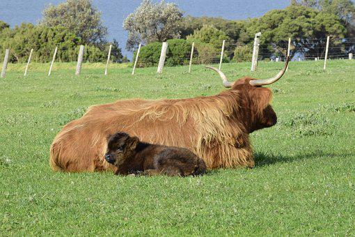 Cows, Lying, Grass, Calf, Mother, Horns, Farm