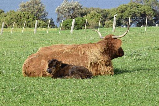 Cows, Lying, Grass, Calf, Mother, Horns, Farm