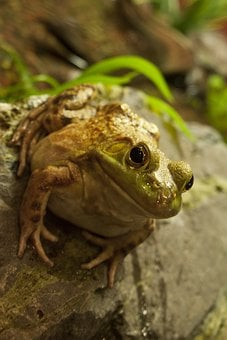 Fat Frog, Fat, Frog, Toad, Cute, Funny, Character