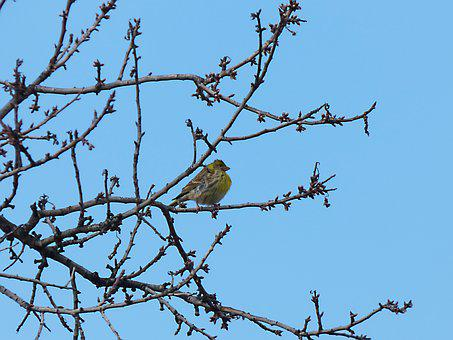 Serinus Serinus, European Serin, It Gafarró, Bird