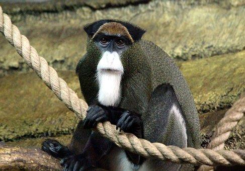 De Brazza's Monkey, Marmoset, Cercopithecus Neglectus