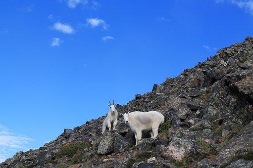 Mountain Goats, Animals, Colorado, Wildlife, Mountain