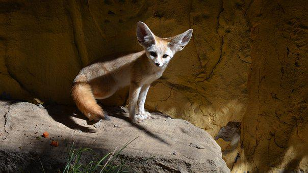 Fennec, Fox, Zoo, Vulpes Zerda, Animal, Nocturnal