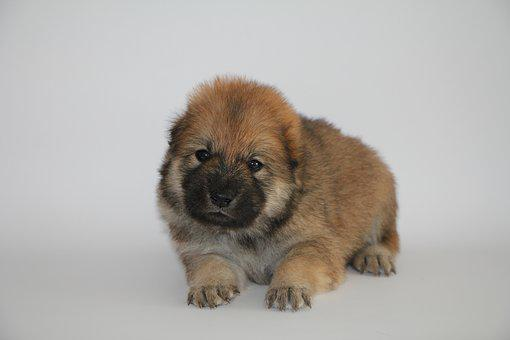 Eurasier Puppy, Dog, Animal Photo, Pet, Cute, Young