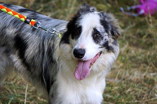 Dog, Pastor, Profile Dog, Animals, Pets, Obedient Dog