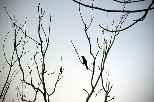 Lonely, Crow, Barren, Tree, Silhouette