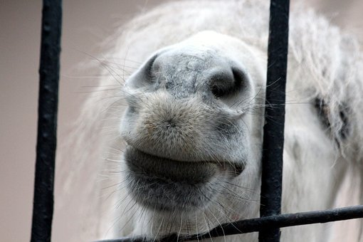 Pony, Snout, Small Horse, White Pony, Zoo, The Nostrils