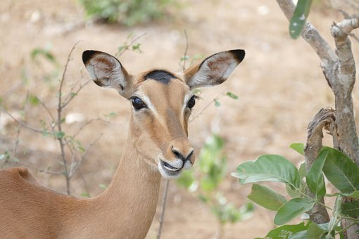 Wildlife, Impala, Animal, Wild, Antelope, Kruger