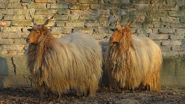 Sheep, Zackelschaf, Parallel, Two, Pair, Wool, Winter