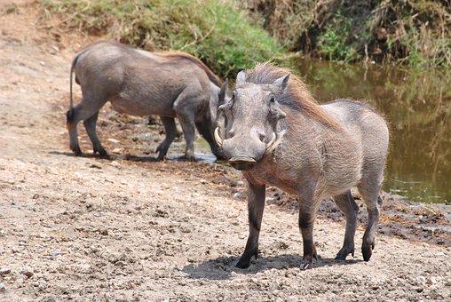 Pumba, Warthog, Serengeti, Tanzania, Africa