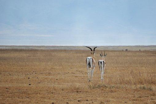 Antelope, Ngorongoro, Crater, Serengeti, Safari