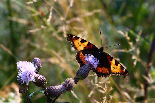 Butterfly, Little Fox, Back Light, Insect, Nature