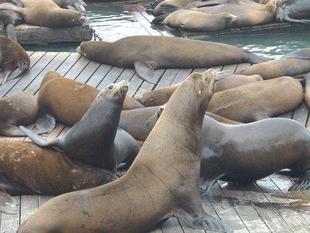 Seals, Walruses, Bay, San, Francisco, Usa