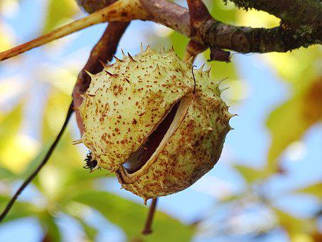 Chestnut, Chestnut Tree, Chestnut Fruit, Open, Tree