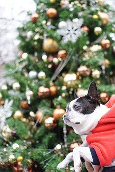 Boston Terrier, Pet, Dog, Christmas, Christmas Tree