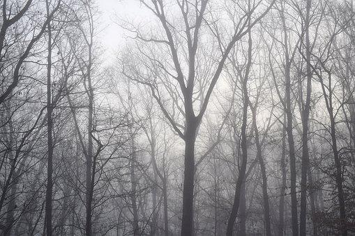 Dawn Trees Through The Fog, Winter, Tree, Plant, Nature
