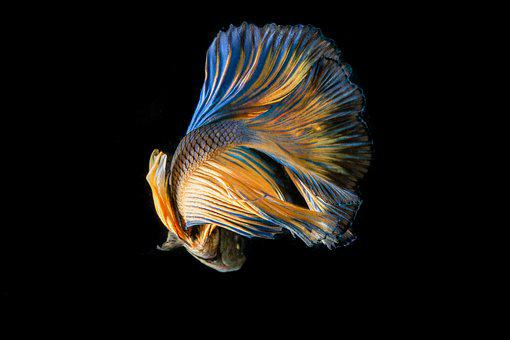 Fish, Fighting Fish, Black Background, Yellow Fish