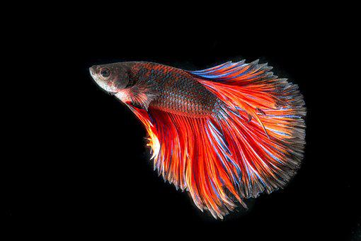 Fighting Fish, Fish, Three Color, Battle, Fish Thailand