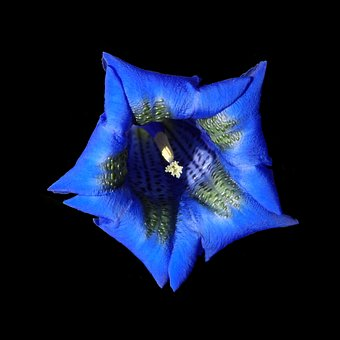Gentian, Blue, Blossom, Bloom, Flower, Bloom, Grow