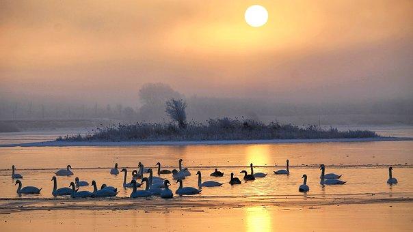 Sunrise, Skies, Foggy, Lake, Swans, Morgenstimmung, Sun