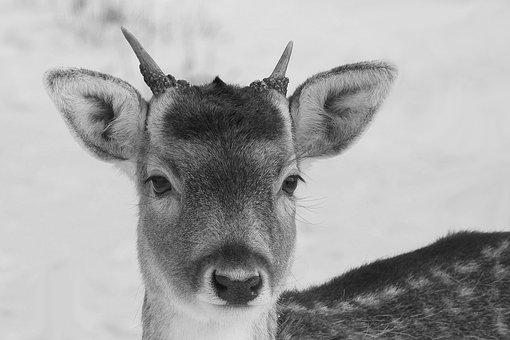 Hirsch, Young-stag, Fallow Deer, Wild, Forest, Animal