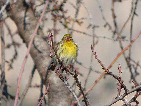 It Gafarró, Bird, Serinus Serinus, European Serin
