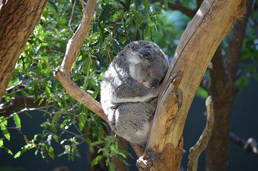 Koala, Marsupial, Animal, Cute, Australia