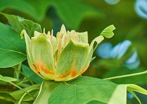 Liriodendron Tulipifera, Tulip Tree, Flower