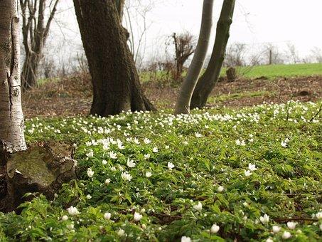 Spring, Flowers, Anemone, Wood Anemone, Nature, White