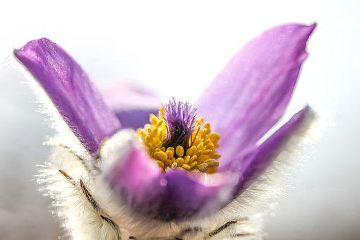 Pulsatilla Grandis, Anemone, Flower, Nature, Macro