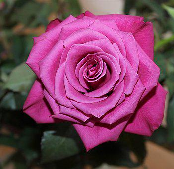 Rose, Red, Red Rose, Background, Romance, Love