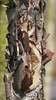 Tree, Bark, Structure, Tree Trunk, Tree Bark, Birch