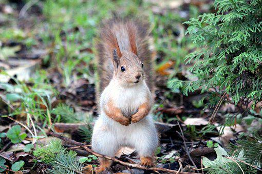 Squirrel, Red Squirrel, Rodent, Curious, Animal, View