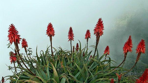 Flower, Aloevera, Red, Nature, Plants Flowering, Plant