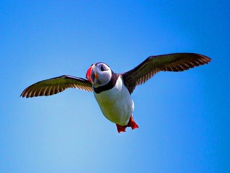 Puffin, Bird, Seabird, Nature, Bird Flying
