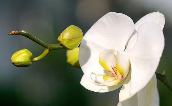 Orchid, White, White Orchid, White Blossom, Blossom