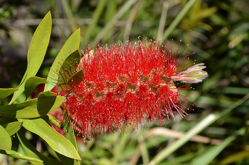 Bottlebrush, Flower, Callistemon, Shrub, Plant, Nature