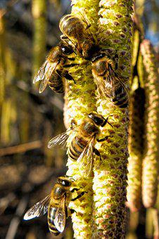 Lambs Tails, Bees, Insect, Close, Nature, Plant
