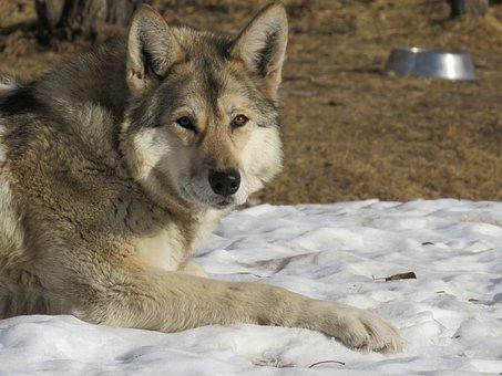 Wolfdog, Wolf, Dog, Sanctuary, Rehabilitation, Fur