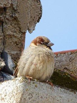 Sparrow, Roof, Drain, Bird, Lookout