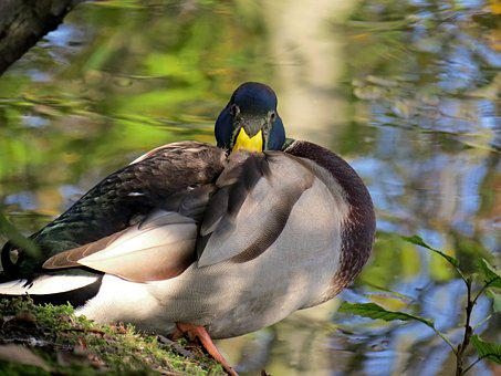 Duck, Nap, Drake, Water Bird, Mallard, Nature, Bird