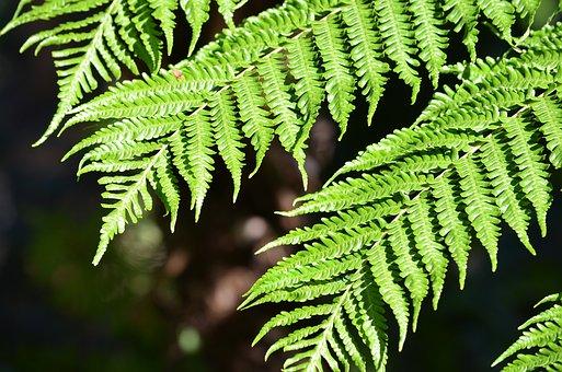 Fern, Plant, Leaf, Nature, Green, Botany, Flora