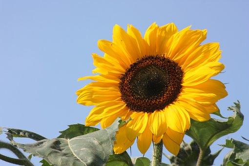 Sun Flower, Flower, Nature, Yellow, Plant, Summer