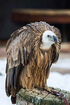 Griffon Vulture, Vulture, Bird Of Prey, Raptor