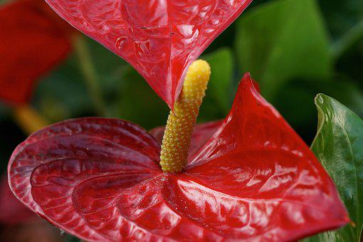 Anthurium, Red, Flamingo Flower, Blossom, Bloom, Flower