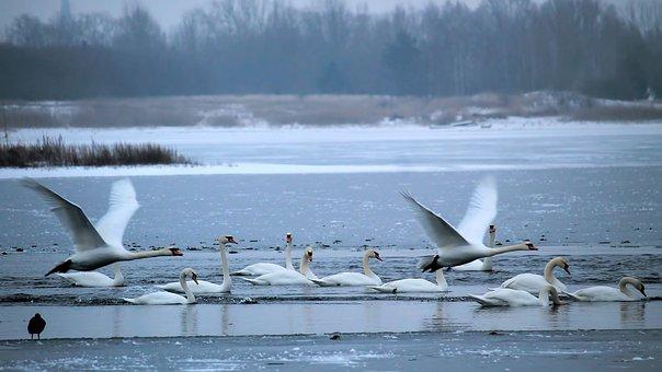 Wintry, Lake, Swans, Frozen, Snow, Slurry, Hazy
