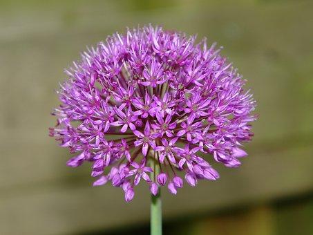Allium, Ui, Ornamental Onion, Allium Giganteum, Flower