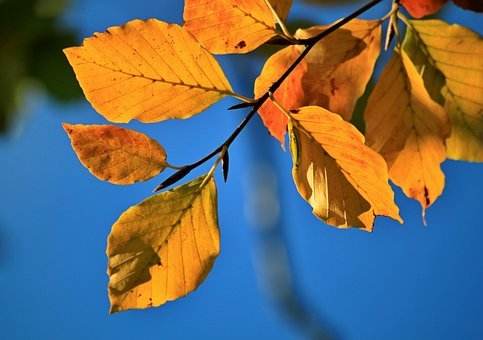 Fall Foliage, Beech, Beech Leaves, Fall Color, Autumn